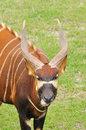 bongo-headshot-african-wild-antelope-30397355[1]